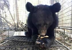 利稻小黑熊野性不夠 台東林管處將暫時照養