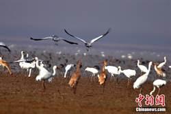 白鶴被確定為江西「省鳥」 98%白鶴在鄱陽湖越冬