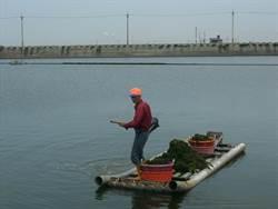 文蛤育成率低 漁民清藻類防文蛤暴斃