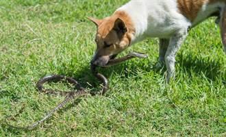 比特犬肉身護小主人 慘被毒蛇咬死