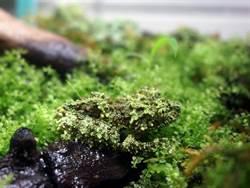 北市立動物園「偽裝高手」苔蘚蛙 考驗遊客好眼力