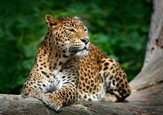 超強「豹」護色 網土丘尋覓超崩潰
