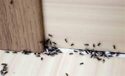 買螞蟻藥無效聽說分葷素 專家解惑