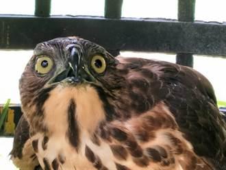 保育類鳳頭蒼鷹落難 「警鴿」協助救治
