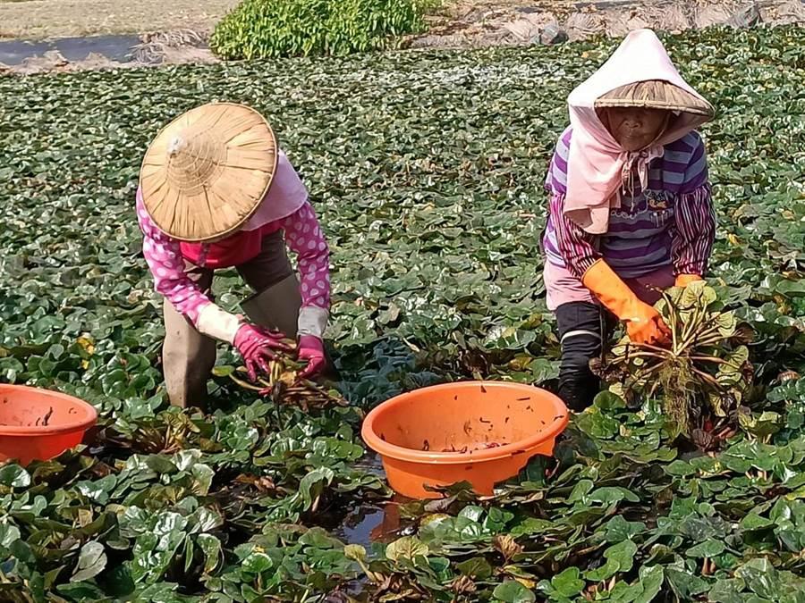 鹿草鄉公所祕書黃國鴻表示,每顆菱角都是農民辛苦的結晶,邀請大家把握產季,多多支持在地好農產。(張毓翎攝)