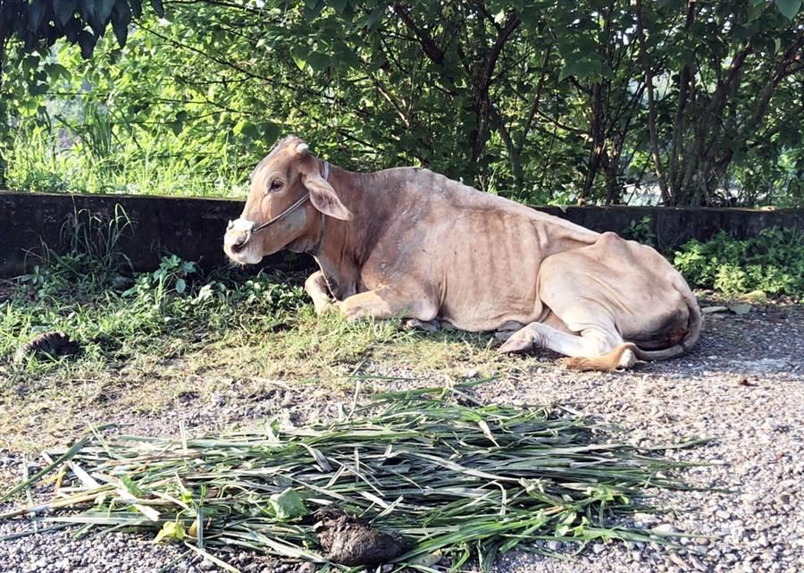 被救起的牛隻復原狀況良好,才讓網友鬆了一口氣。(翻攝畫面/林和生屏東傳真)