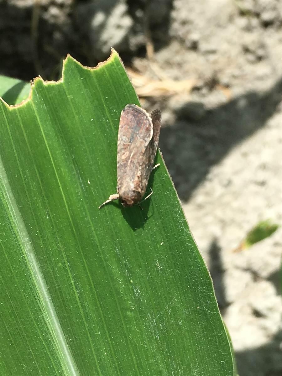 秋行軍蟲羽化的飛蛾。(雲林縣動植物防疫所提供)