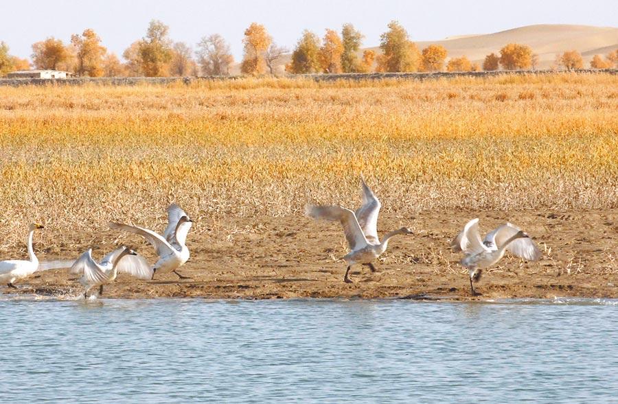 水鳥在塔里木河下游水面上戲水。(新華社資料照片)