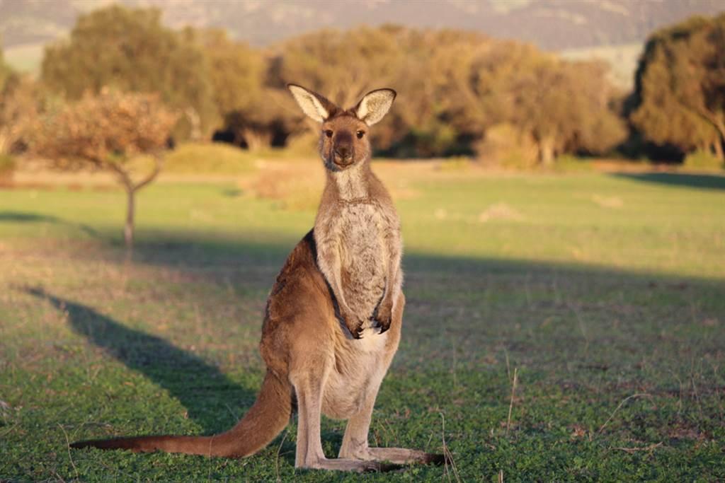 澳洲維多利亞省宣布開放有照獵人在劃定區域獵捕袋鼠,目標今年底前要獵殺14,090頭,獵捕到的袋鼠肉要製成寵物食品。(示意圖/shutterstock)
