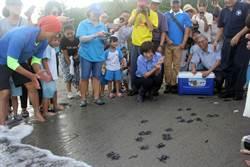 台灣本島首次完整紀錄  小海龜孵化回大海