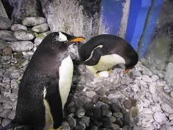 國慶連假最夯景點   屏東海生館企鵝寶寶誕生季到來