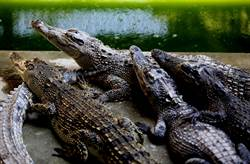 鱷魚胃有大量硬幣 動物園籲別再許願 不靈