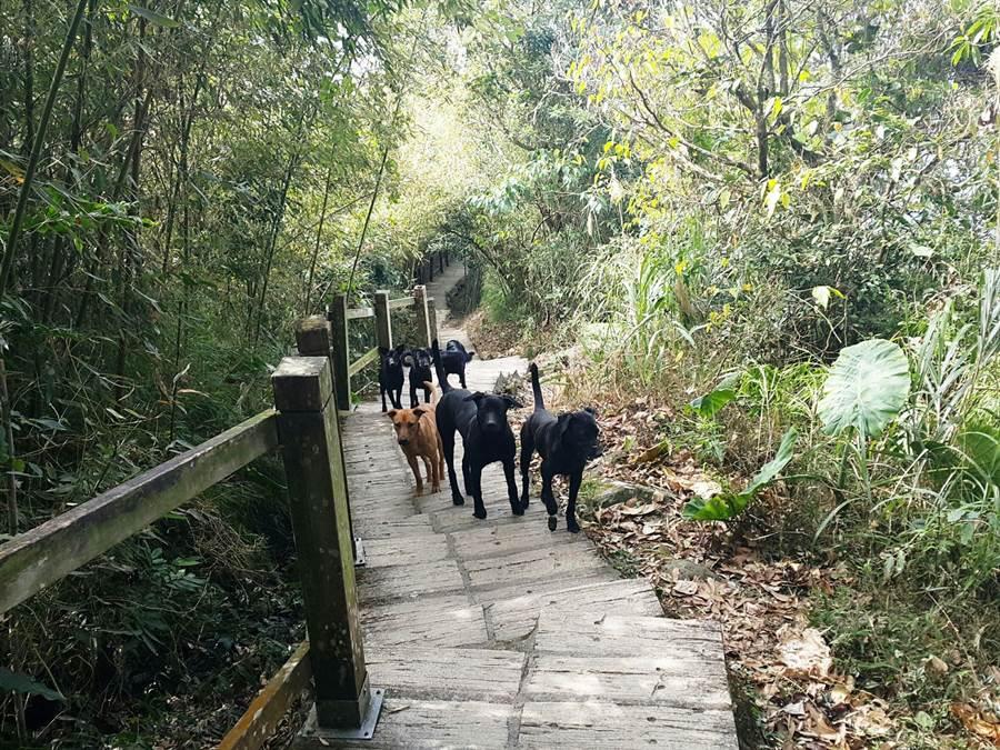 雲林縣山區出現大量流浪狗,研判遭主人丟棄,許多不小心誤觸捕鼠夾而受傷。(周麗蘭攝)