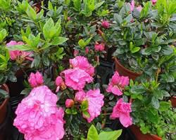杜鵑花不只三月開!萬金杜鵑四季都能賞 玫瑰杜鵑飄桃紅