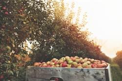 5萬顆蘋果一夜消失 果園主人傻了