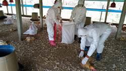 屏東發現禽流感 撲殺上萬隻土雞