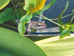 斑腿樹蛙爆量 金門縣府監控