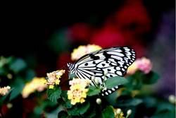 蝴蝶變少了!英野生生物數量下降