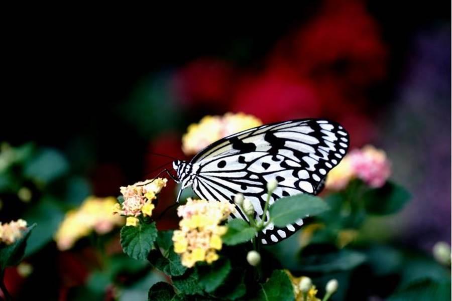 10月2日在上海動物園拍攝的蝴蝶。(圖/新華社)