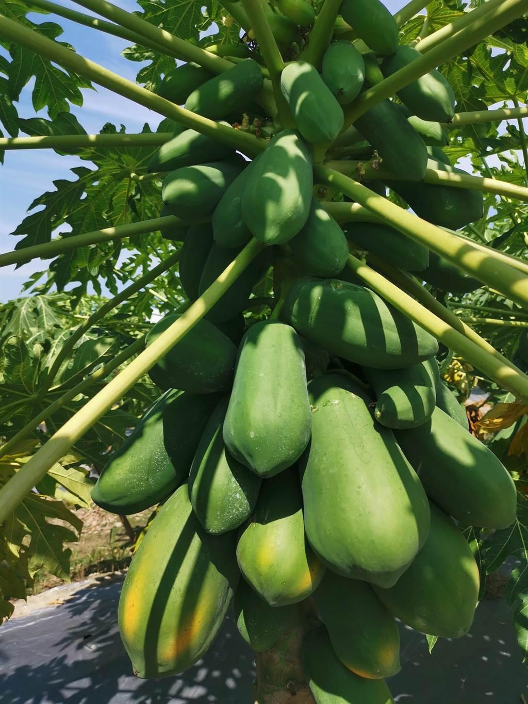三灣紅妃木瓜目前正值盛產期,但因供不應求,價格較去年小漲5到10元。〔謝明俊攝〕