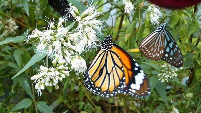 福興南和休閒農業區裡隨處可見翩翩起舞的蝴蝶,穿梭於花叢間。(林柏樺提供/何冠嫻苗栗傳真)