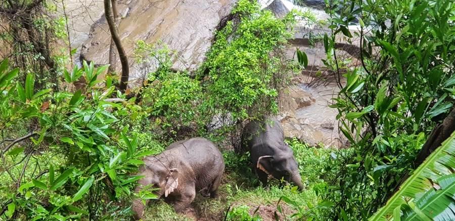 泰國中部考艾大山國家公園地獄崖瀑布5日清晨發現5大1小大象溺斃,湍急溪水中還有2頭大象筋疲力盡地試著喚醒已經氣絕身亡的同伴,國家公園工作人員隨後已經將2頭大象救起,他們說小象不慎滑落瀑布,其他大象為了營救牠不幸身亡。圖為2頭倖存的大象。(圖/美聯社、泰國國家公園、野生動物和植物保存局)