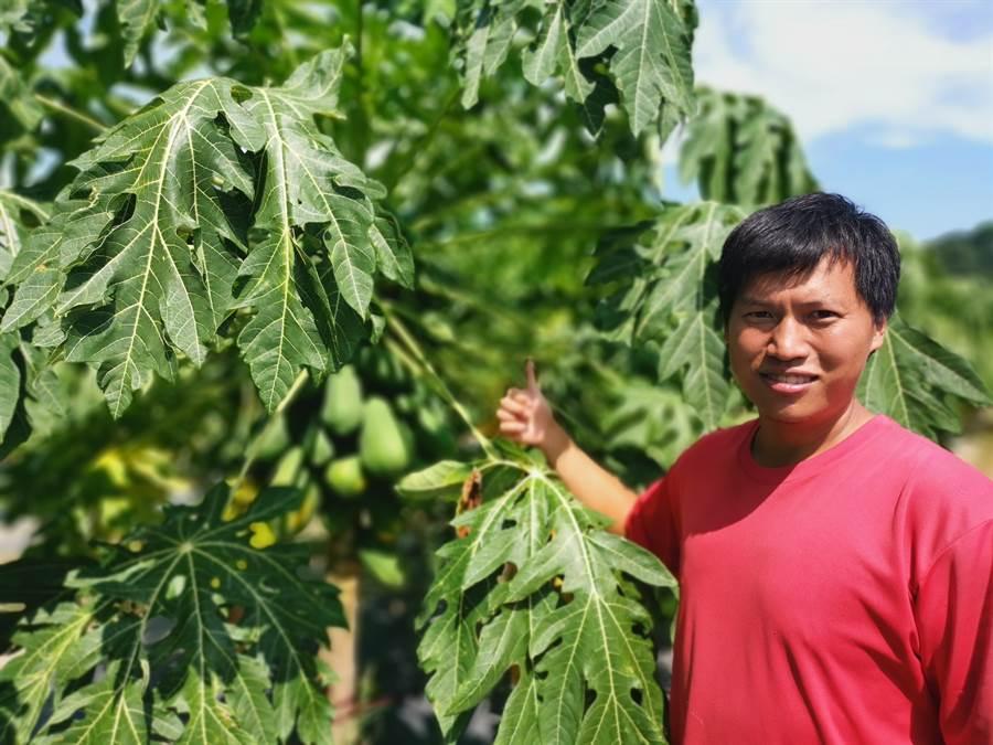 陳姓木瓜農是三灣第1個栽植紅妃木瓜的農民,對自家木瓜非常有信心。〔謝明俊攝〕