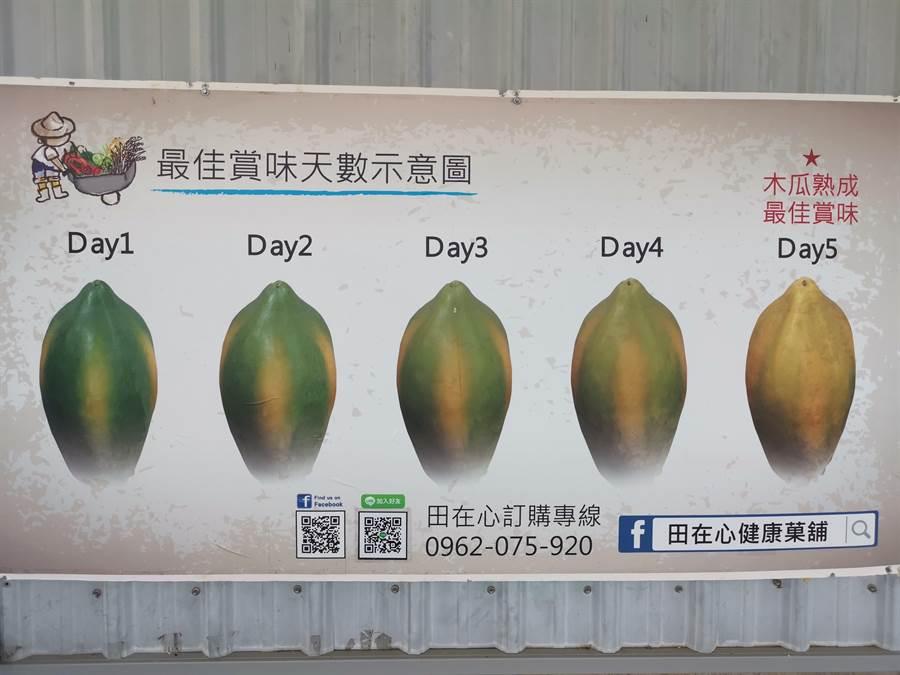 木瓜農教導民眾如何辨識木瓜熟度。〔謝明俊攝〕