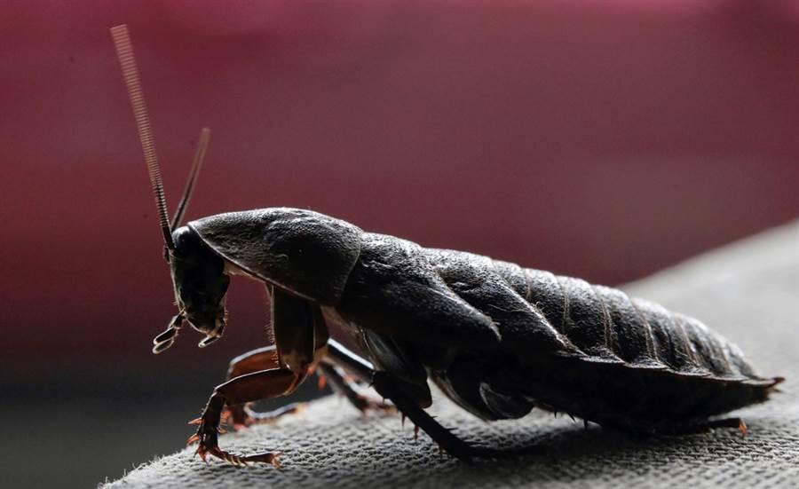 哥斯大黎加大學生物學家潘尼亞瓜3年前開始落實以昆蟲取代動物蛋白質的生活,他描述,吃昆蟲像是吃洋芋片。圖為他養殖的非洲蟑螂。(圖/路透社)