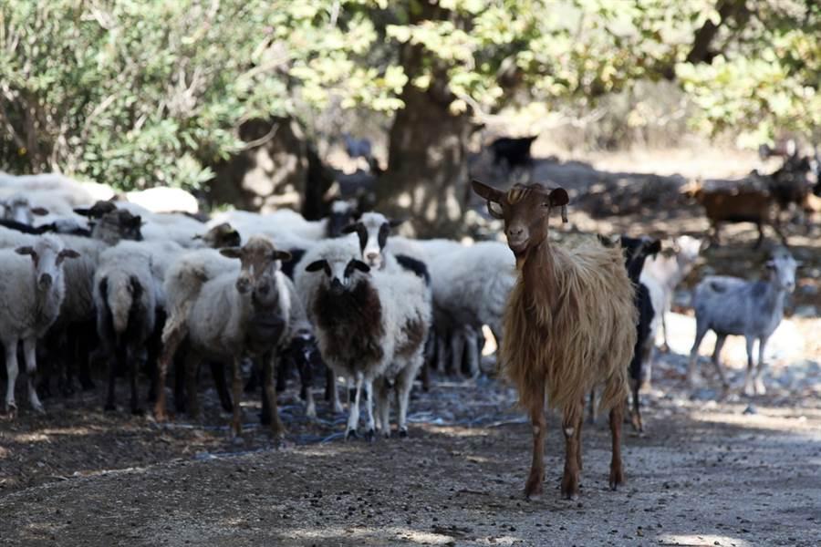 希臘薩莫色雷斯島(Samothraki)羊滿為患,甚至影響到居民生計。(圖/美聯社)