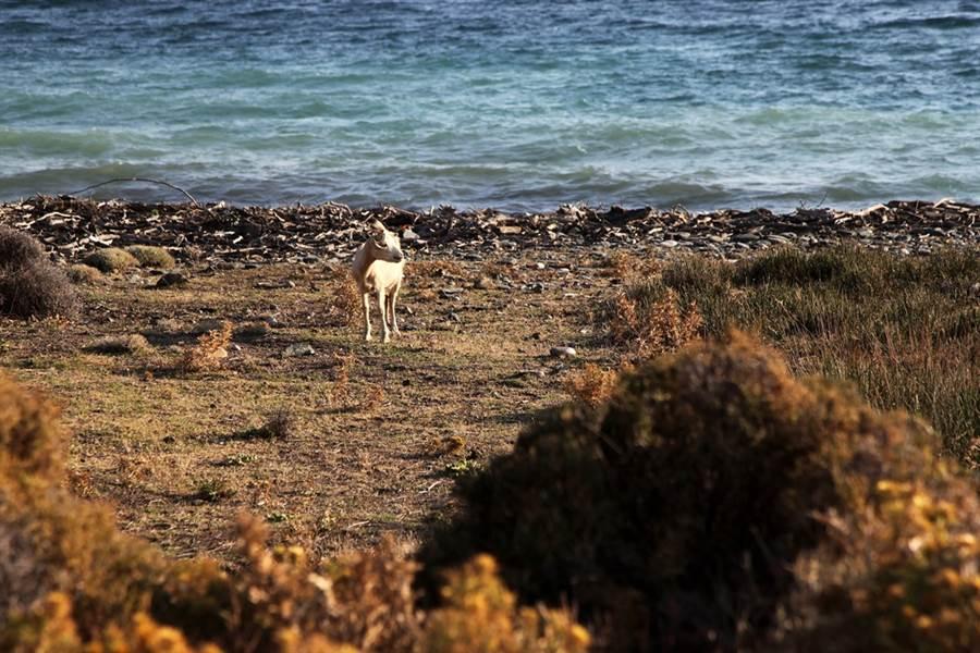 希臘薩莫色雷斯島(Samothraki)羊滿為患,甚至影響到居民生計。島上實施半放牧制,山羊到處亂走。(圖/美聯社)