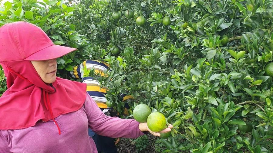 東山青皮椪柑正值採收期,但農民發現染上黑點病狀況嚴重,不知如何是好。(莊曜聰攝)