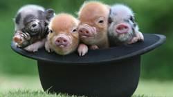 大陸豬肉荒增購 巴西豬今年前7個月出口增三成