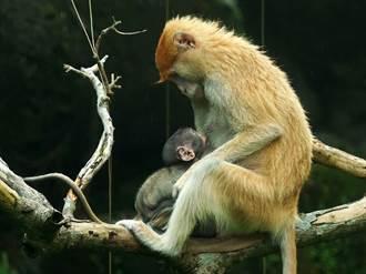 紅猴寶寶「濡安」慶滿月!至今還不知牠的爸爸是誰?