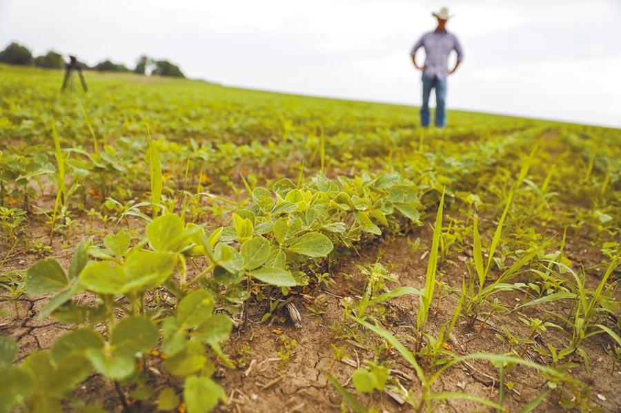 美國農民在自家田地查看大豆生長情況。(新華社資料照片)