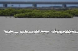 黑面琵鷺、黑腹燕鷗來報到  快來台南追候鳥