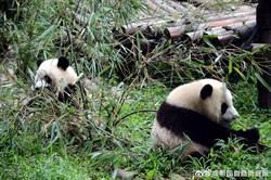 陸大熊貓國家公園總體規劃出爐 形成生物多樣性保護熱點