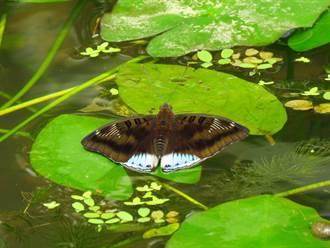 唐山搭船過台灣?基隆濕地首見新品種蝶