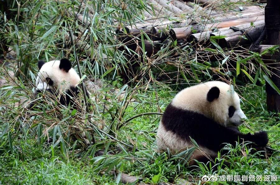 大陸官方積極建設大熊貓國家公園,保護熊貓、川金絲猴等116種野生動物。(取自新浪微博@成都規劃自然資源)