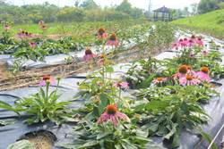 國慶連假賞花不打烊 紫錐花夢幻莊園在苗栗