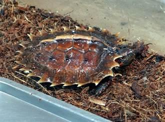 萌!太陽龜寶寶住進嬰兒房!吃東西也要慢慢來