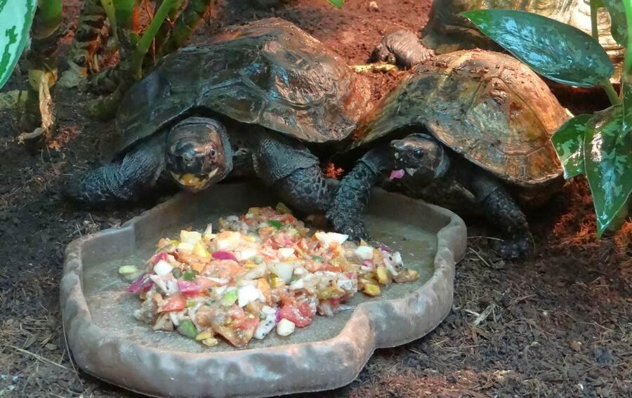 「太陽龜」一貫的從容和優雅,讓保育員讚嘆牠們是龜類中的「紳士」和「淑女」呢!(台北市立動物園提供)