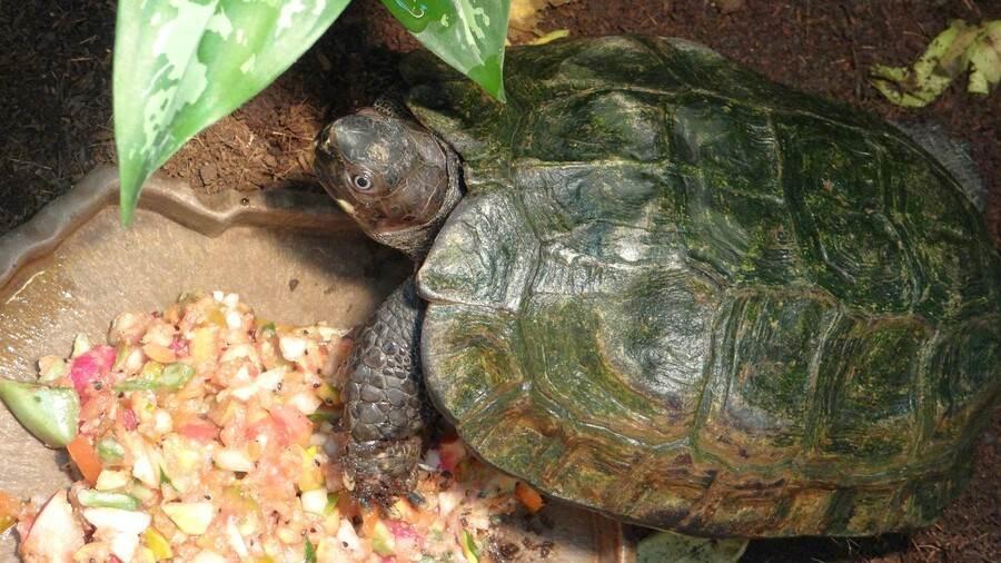 「太陽龜」隨著年齡增長,背甲外緣及背脊上的棘刺將會逐漸消失。(台北市立動物園提供)