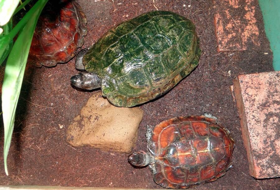 成年的「太陽龜」個體外形上與箱龜較為相似。(台北市立動物園提供)