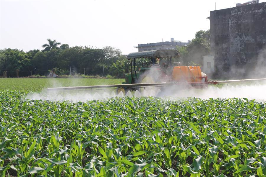 朴子超過3分之1的玉米田遭秋行軍入侵。(張毓翎攝)