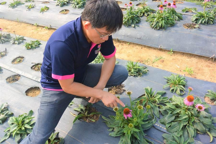 邱文正介紹紫錐花生長期及構造。(巫靜婷攝)