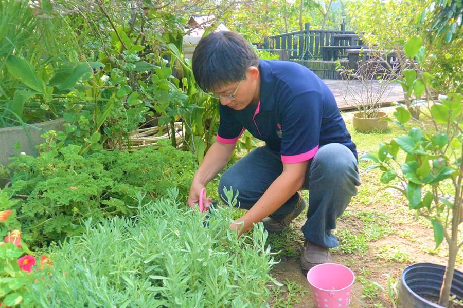 莊園全區採友善無毒種植,現採的香藥草洗淨後,即可沖泡飲用。(巫靜婷攝)
