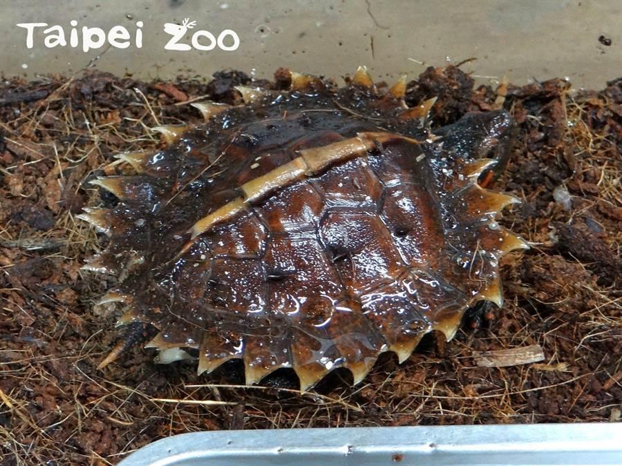 「太陽龜」因背甲邊緣有一圈如太陽光芒的棘刺,而獲得美名。(台北市立動物園提供/游念育台北傳真)