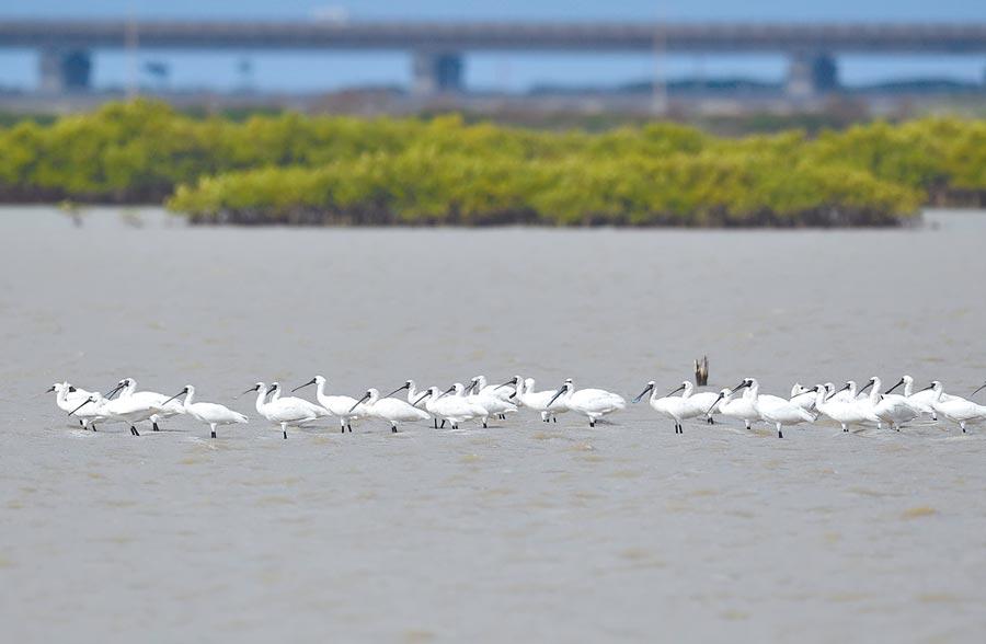 台南濱海進入候鳥季,包括黑面琵鷺、黑腹燕鷗2大明星鳥種都已報到。(台南市生態保育學會提供/莊曜聰台南傳真)