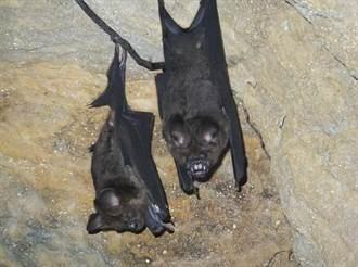 闖基隆槓子寮砲台蝙蝠洞 蝙蝠挨抓塞口袋吱吱叫